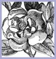 magnolia-flower-clip-art-13